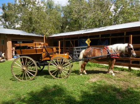 Horse, wagon, harness, shafts complete driving tools ready for parade, Haflinger Mare for sale in Texas