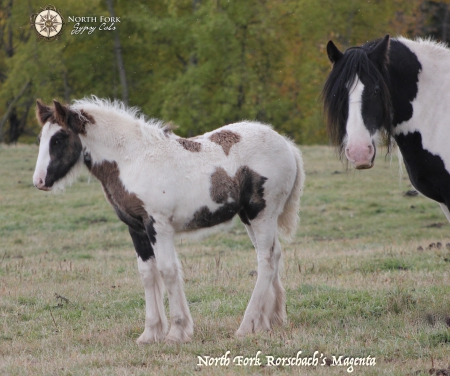 North Fork Rorschach's Magenta, Gypsy Vanner Filly for sale in Alberta