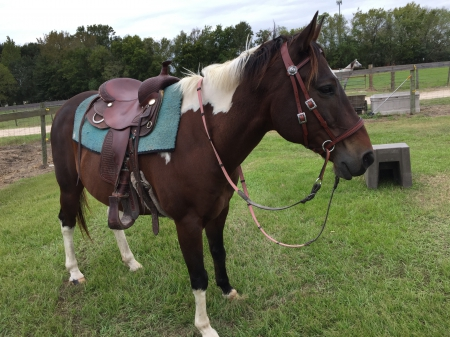 Shylo, American Quarter Horse Gelding for sale in Texas