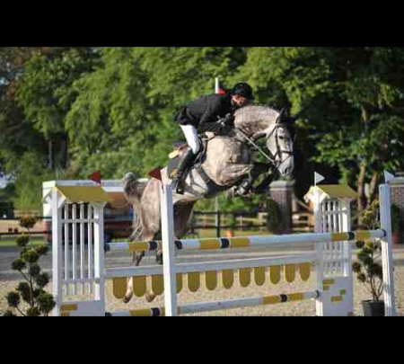 Holi S, Dutch Warmblood Gelding for sale in New York