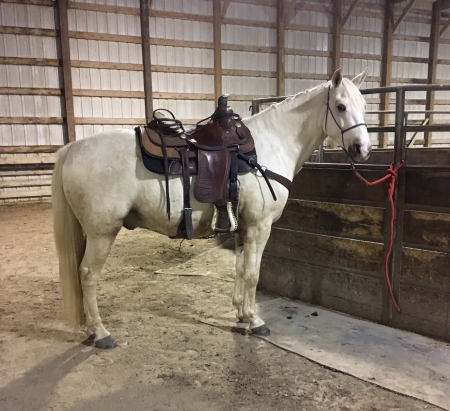 Adey's Gold Traveler (Traveler), Missouri Fox Trotting Horse Gelding for sale in Missouri
