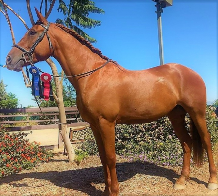 Lady, Friesian Cross Mare for sale in California