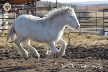 North Fork Guapo's Ice Man, Gypsy Vanner Gelding for sale in Alberta