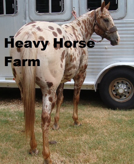 Prime Time Commander ***REDUCED***, Appaloosa Gelding for sale in Kentucky