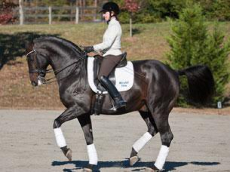 Brawn Jaq, Hanoverian Gelding for sale in California