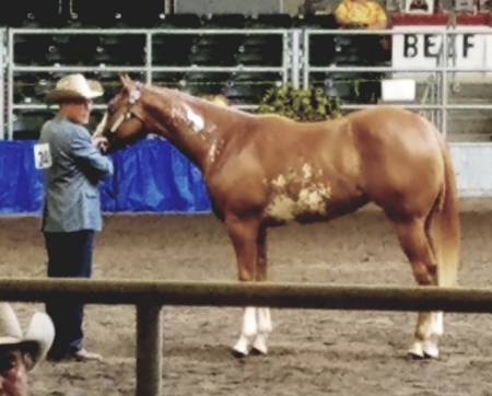 All Star Pizzaz, American Paint Horse Association Gelding for sale in Wisconsin
