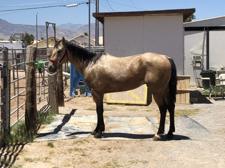 Dalton, American Quarter Horse Gelding for sale in Nevada