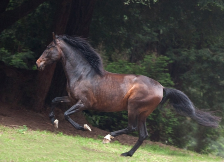Valentin, Andalusian Gelding for sale in California