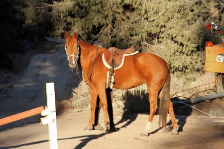 Poppy - Beautiful, Trained Mustang Mare, Mustang Mare for sale in California