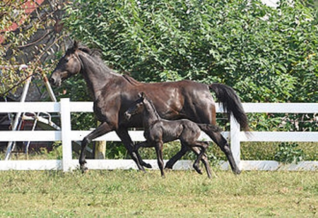 Phoenix, Friesian Cross Colt for sale in South Carolina
