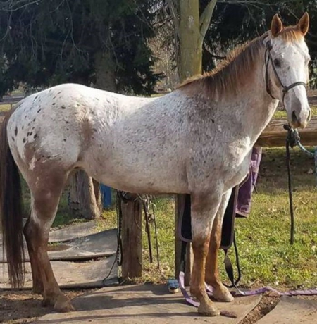 Rusty, Appaloosa Gelding for sale in Ontario