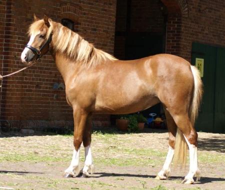 Cl, Ponies Gelding for sale in Texas