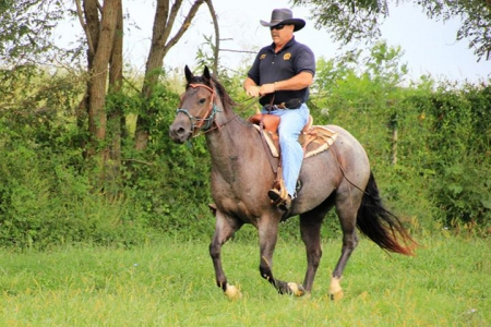 APACHE BLUE BADGER (, American Quarter Horse Gelding for sale in Kentucky