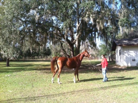 Khopi's Kharissa, Arabian Mare for sale in Florida