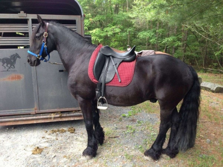 6yo Charming Friesian Gelding, Friesian Gelding for sale in Florida
