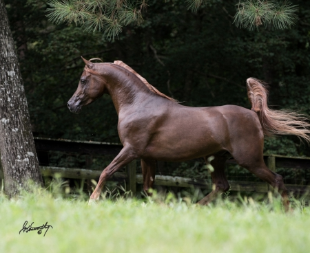 Egyptian Arabian, Egyptian Arabian Stallion for sale in Georgia