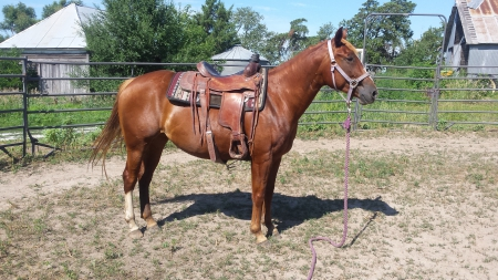 Shining Rum Squall, American Quarter Horse Mare for sale in Nebraska