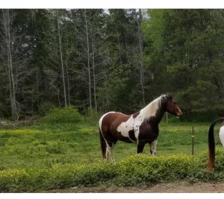 Big Stout Paint Gelding Project, American Paint Horse Association Gelding for sale in South Carolina