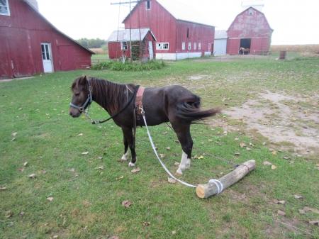 Splash, Ponies Gelding for sale in Illinois