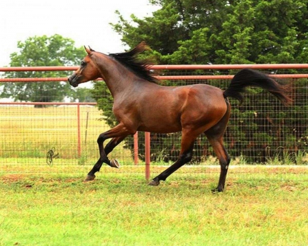 Gorgeous Purebred Bay Arabian!, Abyssinian Gelding for sale in Michigan