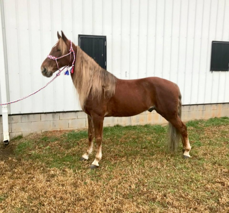 Genin' My Destiny , Tennessee Walking Horses Gelding for sale in Kentucky