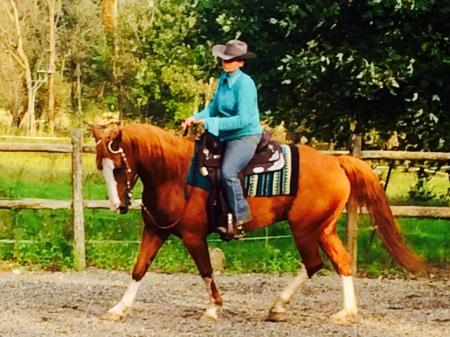 Fynn - Flashy DRAFT CROSS GELDING for sale. 9yrs. Quarter Horse Clydesdale - Chrome!, American Quarter Horse Gelding for sale in Pennsylvania