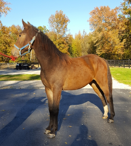 Hosanna's Red Mack K, Tennessee Walking Horses Colt for sale in Indiana