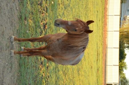 Shaker, Missouri Fox Trotting Horse Gelding for sale in Arizona