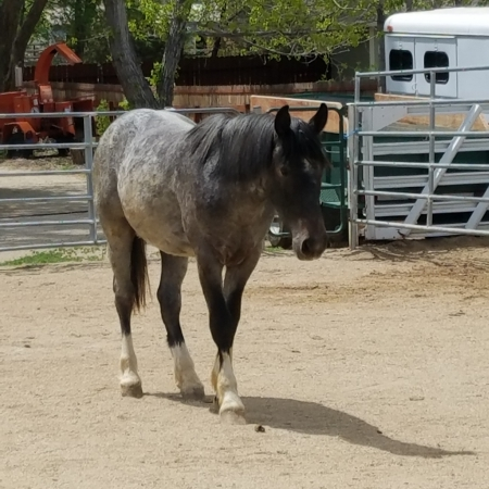 Rocky, Mustang Gelding for sale in Nevada