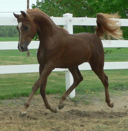 MVA Lucky Colours, Arabian Stallion for sale in Maine