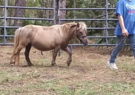 Cloudy, Miniature Mare for sale in Florida