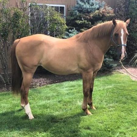 THOR, American Quarter Horse Gelding for sale in Texas