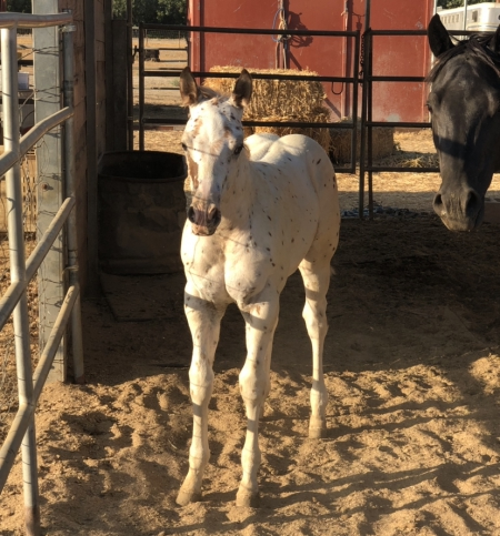 Yearling Leopard Colt, Appaloosa Colt for sale in California
