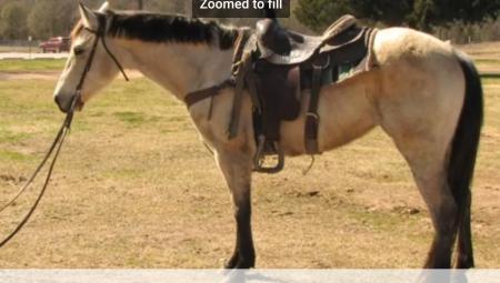 Buckskin Mare, American Quarter Horse Mare for sale in Texas