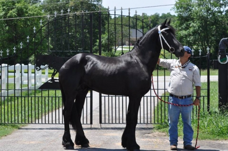 Angelo, Warmbloods (All) Stallion for sale in South Carolina