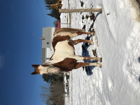 Lee, Pinto Gelding for sale in Maine