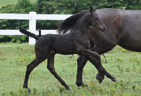 Morocco, Warmbloods (All) Filly for sale in South Carolina