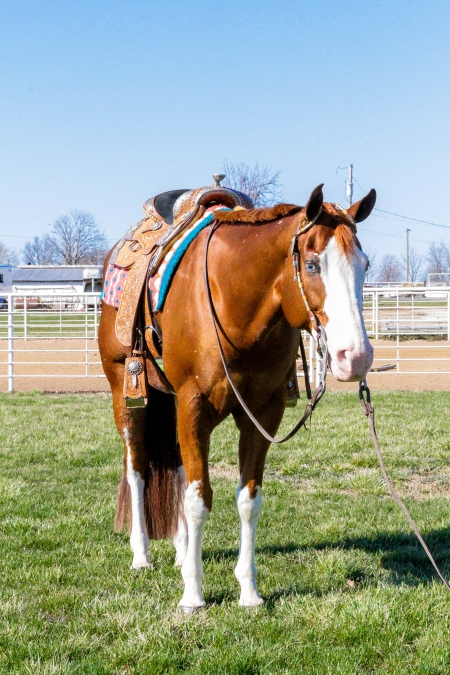 All Kinds of Special, American Paint Horse Association Gelding for sale in Missouri