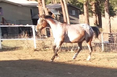 Lazy J's Bright Beauty, Appaloosa Mare for sale in Colorado