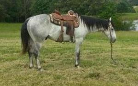 Denns, American Quarter Horse Gelding for sale in California