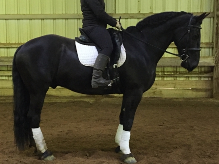 Charm, Percheron Gelding for sale in Ohio