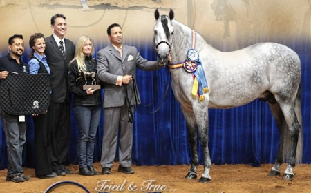ACERTIJO, Andalusian Stallion for sale in North Carolina