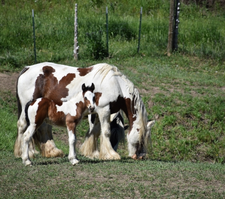 Ginger Gypsy Elite, Gypsy Vanner Mare for sale in Colorado
