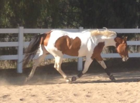A Tru Zip, American Paint Horse Association Mare for sale in California