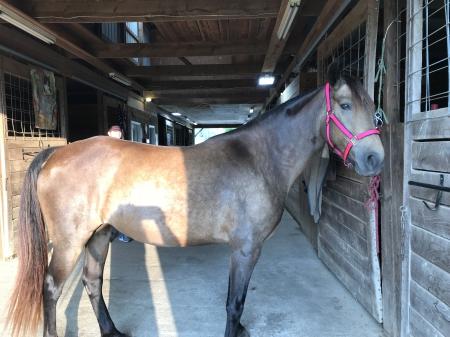 Ebony, Tennessee Walking Horses Mare for sale in Kentucky