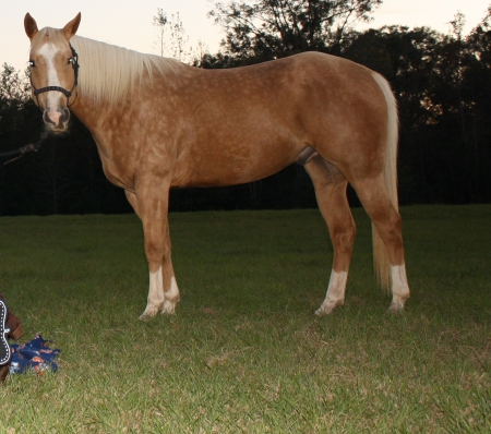 magnum, American Quarter Horse Gelding for sale in Alabama