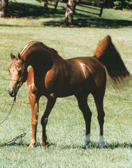 Affirmmed, Arabian Stallion for sale in South Dakota