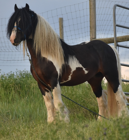 Gypsy Elite Duke, Gypsy Vanner Stallion for sale in Colorado