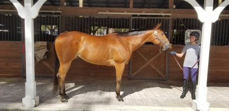 My Other Hunter, Appaloosa Mare for sale in Florida