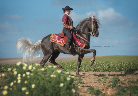 Chocolate, Andalusian Gelding for sale in New York